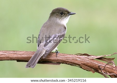 Eastern Phoebe (Sayornis phoebe) perched on a branch with a green background - stock photo