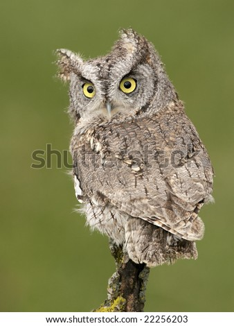 Eastern Screech-Owl (Otus asio) posing on a branch - stock photo