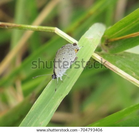 Eastern Tailed Blue Butterfly  on Green Plants in Summer or Spring