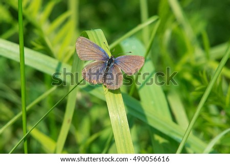Eastern Tailed Blue Butterfly perched on a blade of grass.