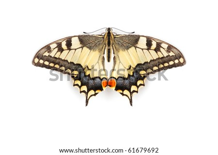 Eastern Tiger Swallowtail Butterfly isolated on white background - stock photo