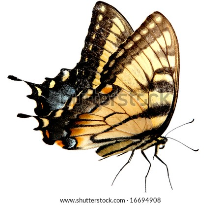 Eastern Tiger Swallowtail Butterfly isolated on white background with clipping path included - stock photo