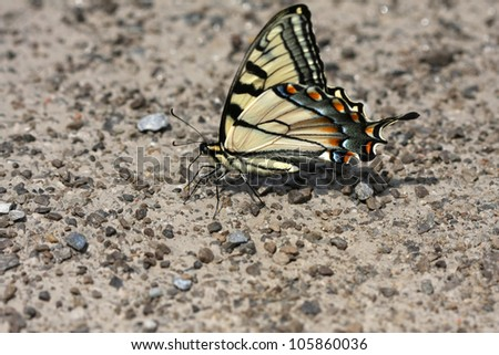 Eastern Tiger Swallowtail Butterfly Papilio glaucus