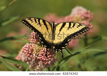 Eastern Tiger Swallowtail with wings wide open feeding from a Milkweed plant In Missouri. - stock photo