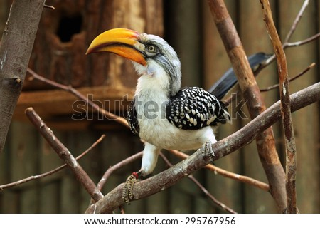Eastern yellow-billed hornbill (Tockus flavirostris), also known as the northern yellow-billed hornbill. Wildlife animal.  - stock photo