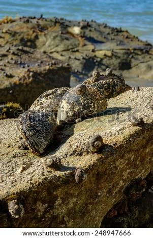 eatable mussels on a beach Abel Tasman New Zealand - stock photo
