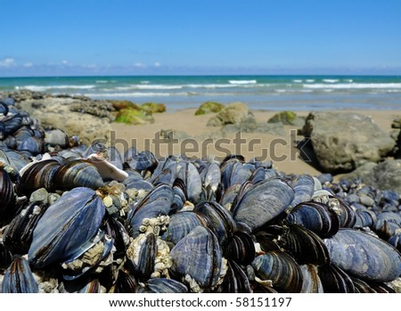eatable mussels on a stones and sea coast - stock photo