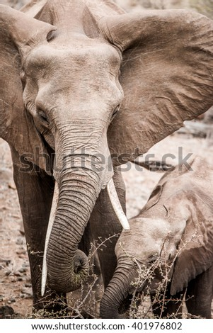 Eating African Elephant with her baby in the Kruger National Park, South Africa. - stock photo