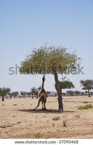 eating camel - stock photo