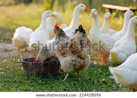 Eating geese and chicken on the farm - stock photo