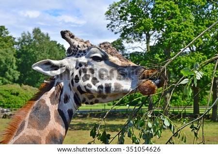 eating giraffe head - stock photo