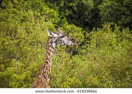 Eating giraffe in Kenya National Park - stock photo