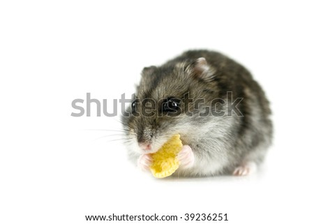eating hamster isolated on white