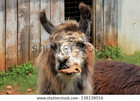 Eating Llama.  A young Llama eating some bread on a farm. - stock photo
