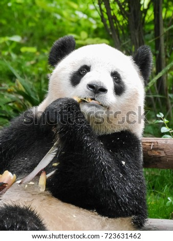 Eating Panda in Research Center, China