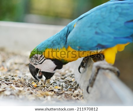 Eating seeds parrot Macaw - stock photo