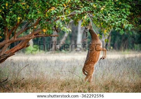 Eating wild  male cheetal deer (Axis Axis). India - stock photo