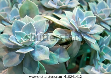 Echeveria elegans - succulent evergreen perennial with rosettes of pale green-blue  leaves