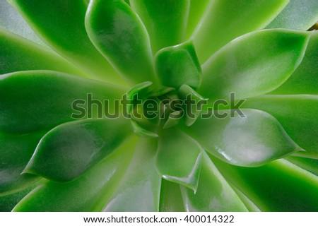 Echeveria succulent plant, macro photography, top view - stock photo