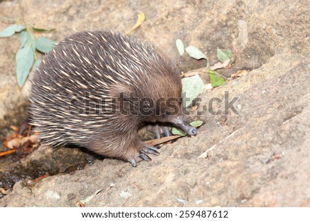 echidna anteater unique to Australia. A small monotreme with spikes rolls into ball when senses danger.Echidnas, sometimes known as spiny ant eaters, belong to the family Tachyglossidae - stock photo