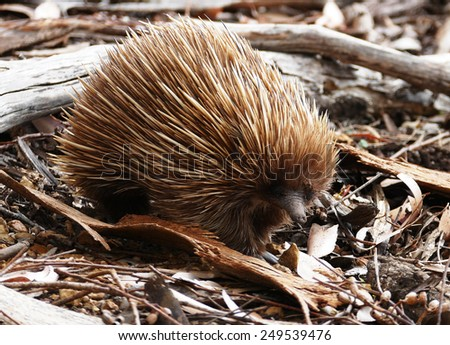Echidna searching for food between leaves