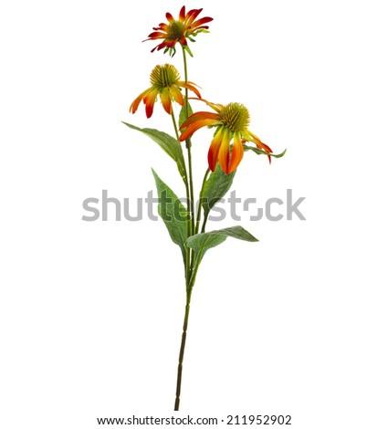 Echinacea  daisy Flower isolated on White Background - stock photo