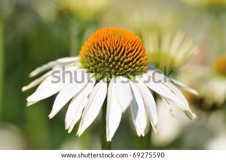 Echinacea flower - stock photo
