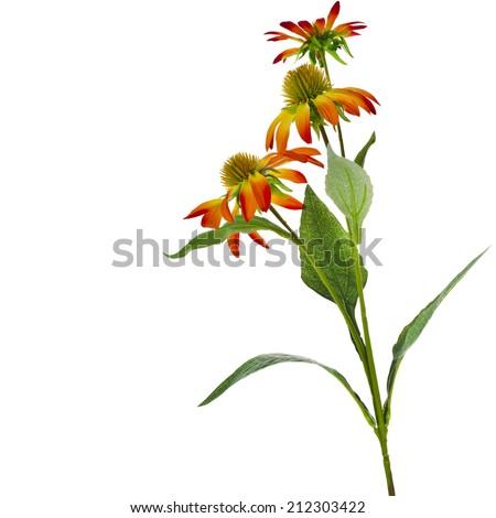Echinacea  Flower bouquet  isolated on White Background - stock photo