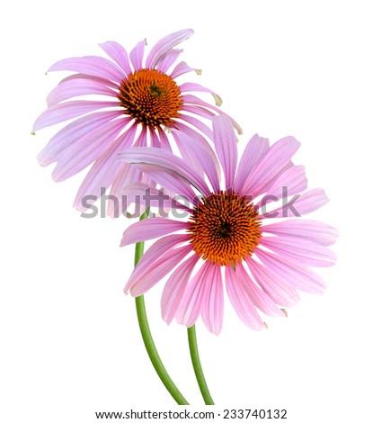 Echinacea Flowers isolated on white background  - stock photo