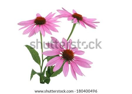 Echinacea Flowers on white  - stock photo