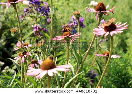 Echinacea in country home rustic ecological garden by very sunny day - stock photo