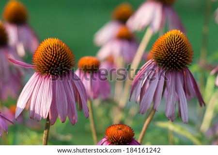Echinacea in garden - stock photo