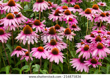 echinacea purpurea (eastern purple coneflower or purple coneflower) flowers in bloom - stock photo