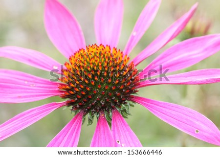 echinacea purpurea, light pink healing herb - stock photo