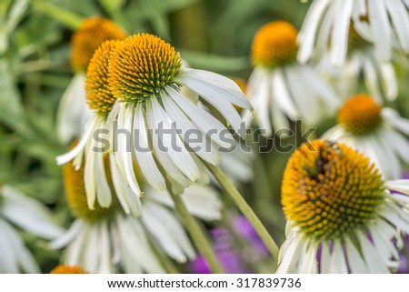 Echinacea purpurea purple cone flower in summer - stock photo
