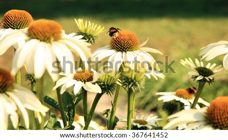 Echinacea with bittern and bumblebee, in country home rustic ecological garden by very sunny day - stock photo