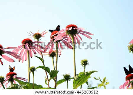 Echinacea with butterflies in country home rustic ecological garden by very sunny day and sky background. - stock photo