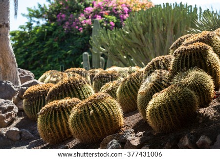 Echinocactus grusonii, popularly known as the golden barrel cactus, golden ball or, amusingly, mother-in-law's cushion,