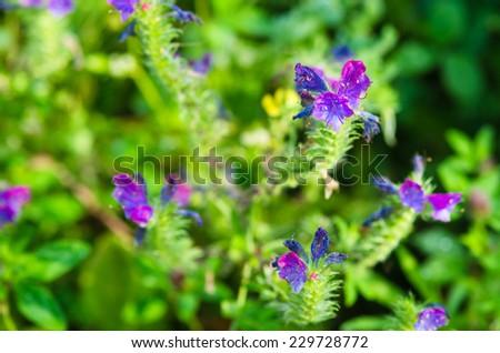 Echium vulgare - stock photo