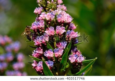 Echium wildflowers and bee sucking the nectar, Canary islands  - stock photo