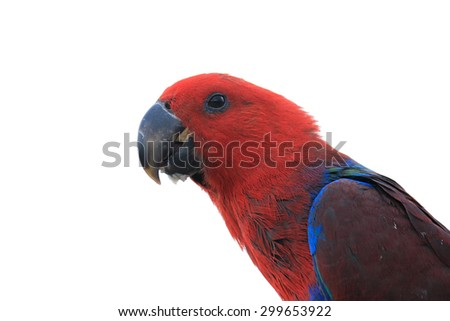 Eclectus Parrot head isolated on white background - stock photo