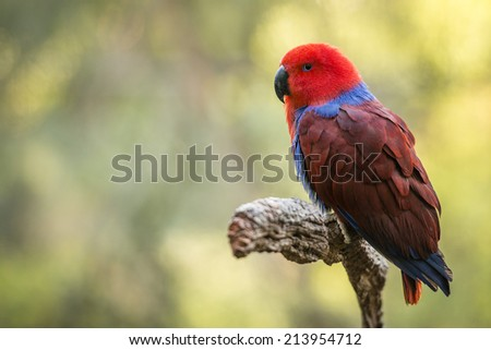 Eclectus Roratus parrot has extreme dimorphism, where the female is mostly bright red and purple or blue plumage and male having a bright emerald green plumage. - stock photo