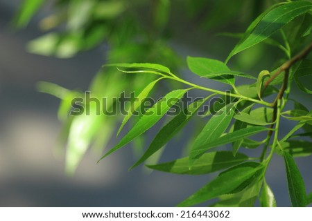 eco background of willow leaves in a sunny spring day in park Moscow, Russia - stock photo