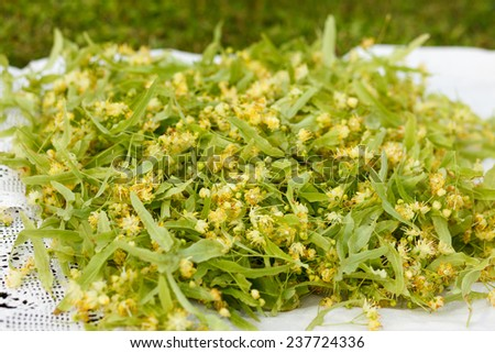 Eco handpicked lime blossom for herbal tea - stock photo