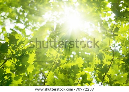 Ecological background - green leaves of oak, bright sun - stock photo