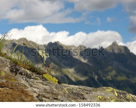 Edelweiss in the Alps on the rock - stock photo