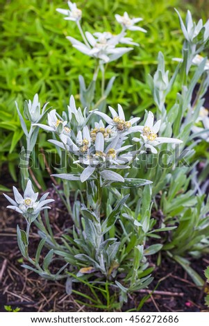 Edelweiss (lat. Leontopodium) genus of dicotyledonous herbaceous plants of the Aster family (Asteraceae). Plant in flowering period