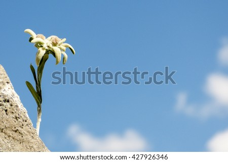 Edelweiss on rock as wallpaper