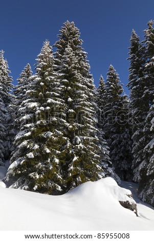 Edge of a fir forest, with snow-covered ground and spruce in the italian alps. Spruce is the traditional Christmas tree. - stock photo