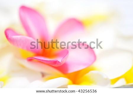 Edge of pink Frangipani petal, shallow DOF - stock photo